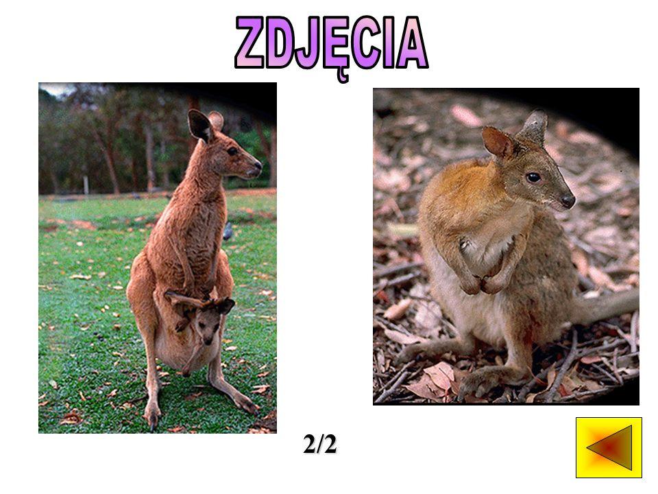 Rodzina kangurów jest bardzo liczna i zróżnicowana.
