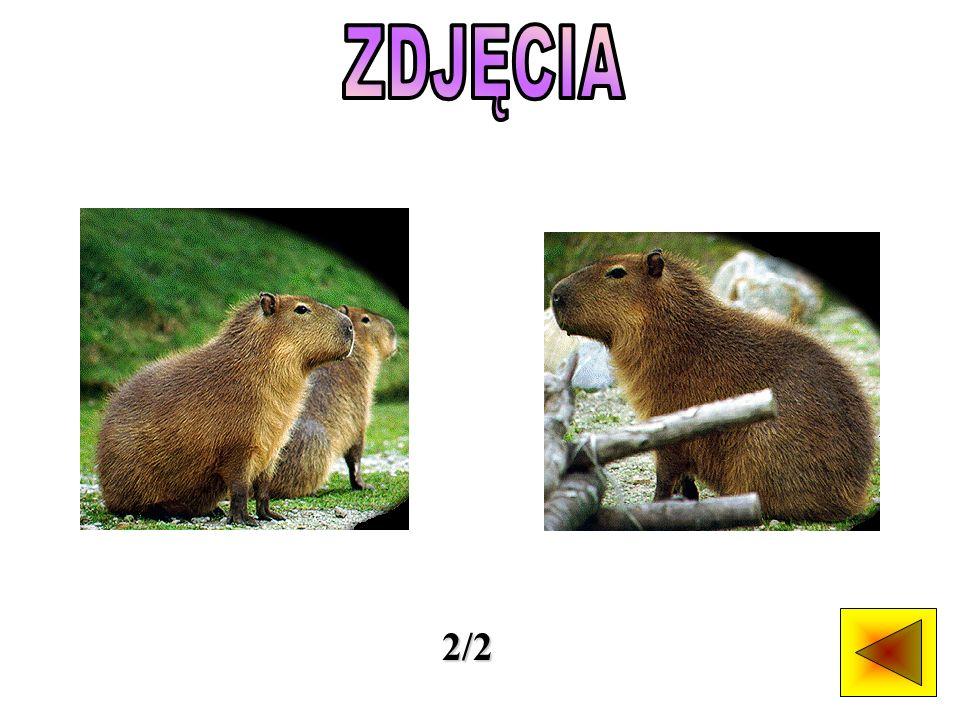 Kapibary występują jedynie w Ameryce Południowej, nad brzegami rzek i jezior.