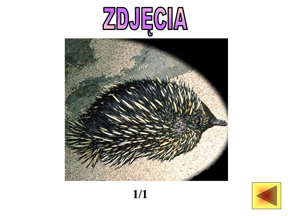 CIEKAWOSTKA: ZDJĘCIA: Występowanie: półpustynne, góry i lasy Pożywienie: mrówki, termity, dżdżownice Rozmnażanie: jedno młode, które wykluwa się z jaja po dziesięciu dniach wysiadywania Rozmiary ciała: kolczatka australijska: głowa i tułów 30 cm; ciężar 2,5 kg; prakolczatka: głowa i tułów 90 cm; ciężar 10 kg Ubarwienie: sierść czarna lub brązowa, kolce jaśniejsze Długość życia: w niewoli do 50 lat (kolczatki)