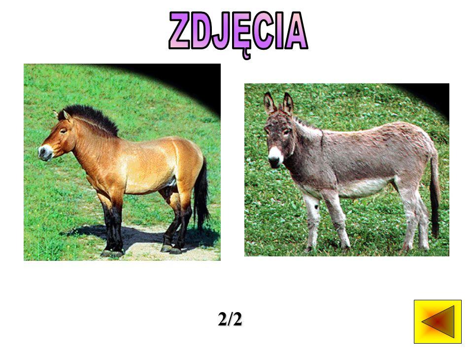Dzikie konie występują głównie w suchych regionach otwartych równin.