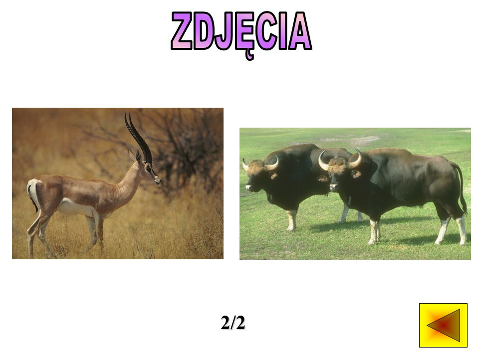Wyróżnia się 11 gatunków dzikich bawołów żyjących współcześnie.