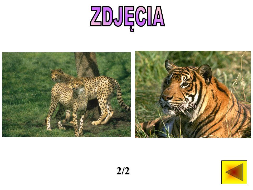Mniejsi przedstawiciele kotowatych zwane są małymi dzikimi kotami.