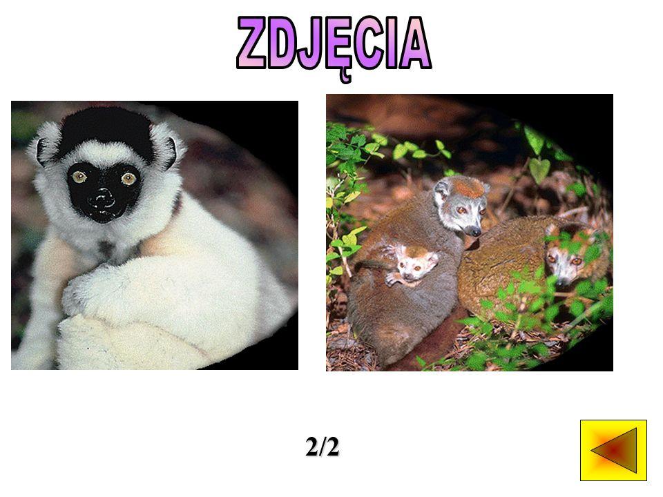 Wszystkie lemury i palczaki zamieszkują Wyspę Madagaskar i pobliski Archipelag Komorów.