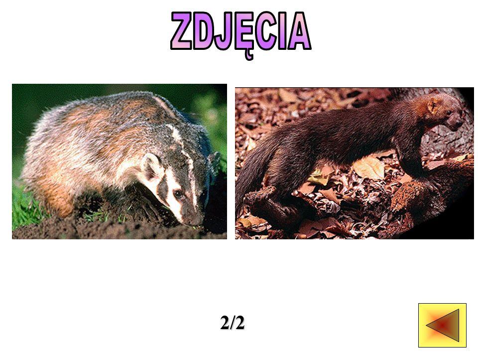 Rodzina łasicowatych obejmuje około 70 gatunków, w tym także borsuki i wydry.