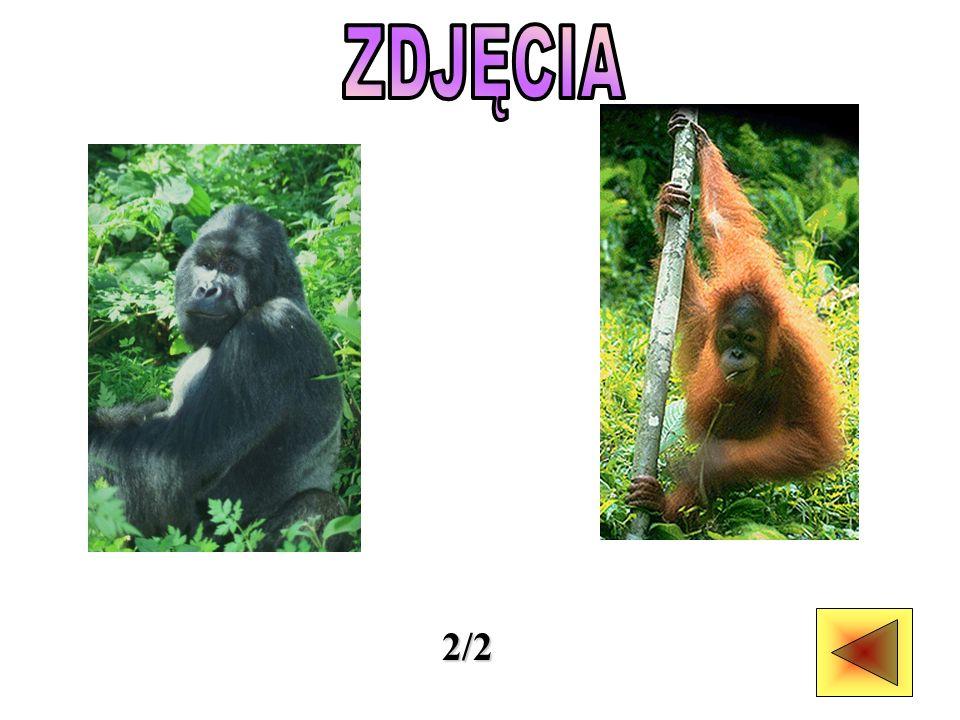Goryle większość dnia spędzają na jedzeniu, głównie liści, kory, młodych pędów, korzeni i owoców.
