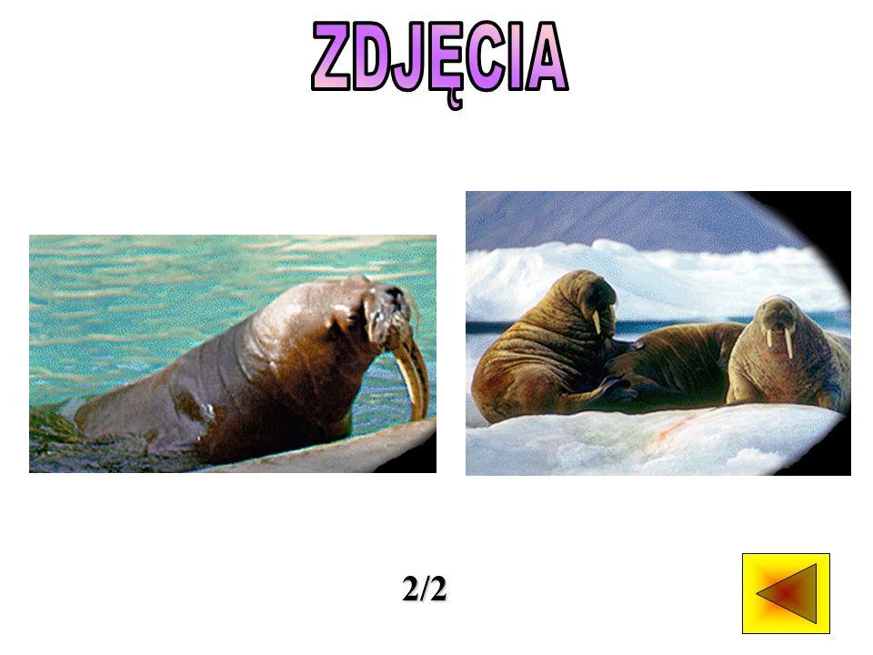Mors przypomina gigantycznego, różowego lwa morskiego. Ma płetwy jako przekształcone kończyny i wrzecionowate ciało. Świetnie pływa, a w wodzie może p