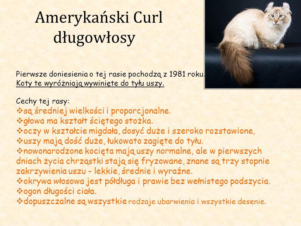 Amerykański Curl długowłosy Pierwsze doniesienia o tej rasie pochodzą z 1981 roku. Koty te wyróżniają wywinięte do tyłu uszy. Cechy tej rasy: są średn