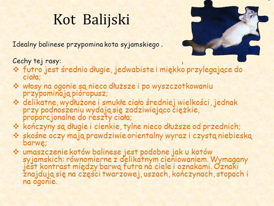 Kot Balijski Idealny balinese przypomina kota syjamskiego. Cechy tej rasy: futro jest średnio długie, jedwabiste i miękko przylegające do ciała; włosy