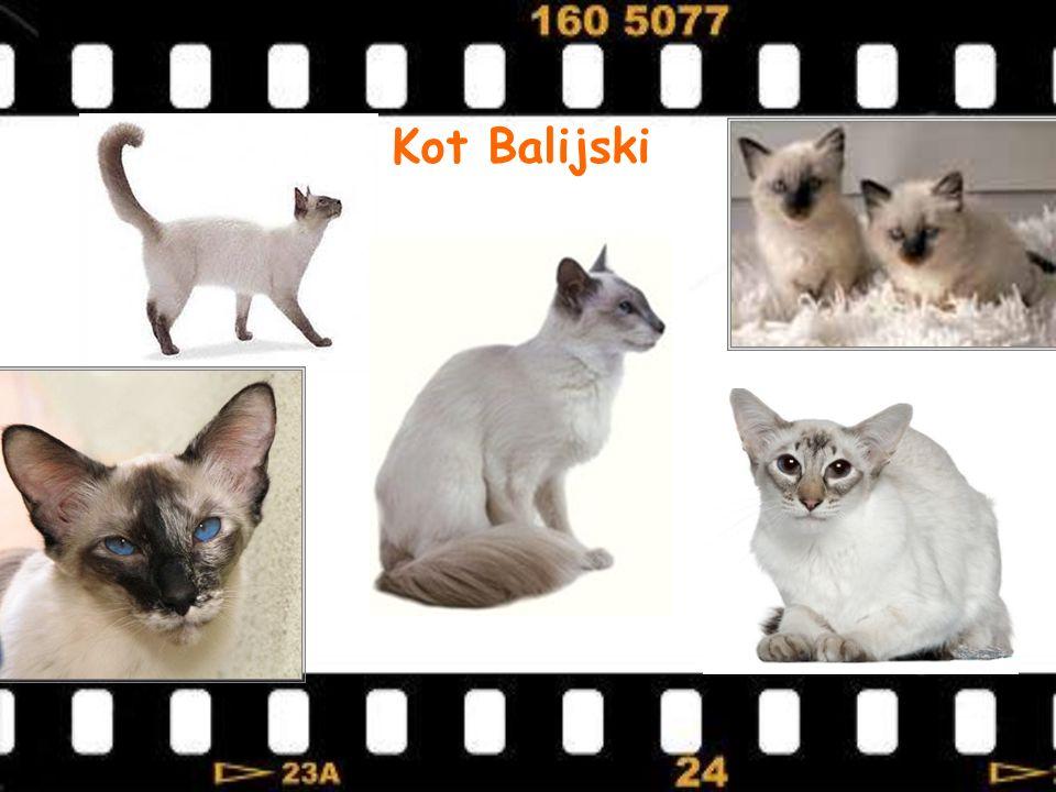 Kot Balijski