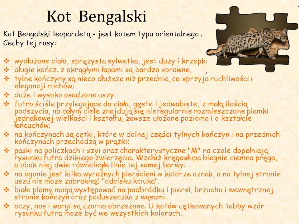 Kot Bengalski Kot Bengalski leopardetą - jest kotem typu orientalnego. Cechy tej rasy: wydłużone ciało, sprężysta sylwetka, jest duży i krzepki; długi