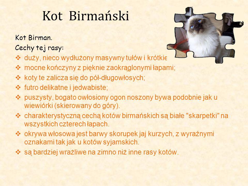 Kot Birmański Kot Birman. Cechy tej rasy: duży, nieco wydłużony masywny tułów i krótkie mocne kończyny z pięknie zaokrąglonymi łapami; koty te zalicza