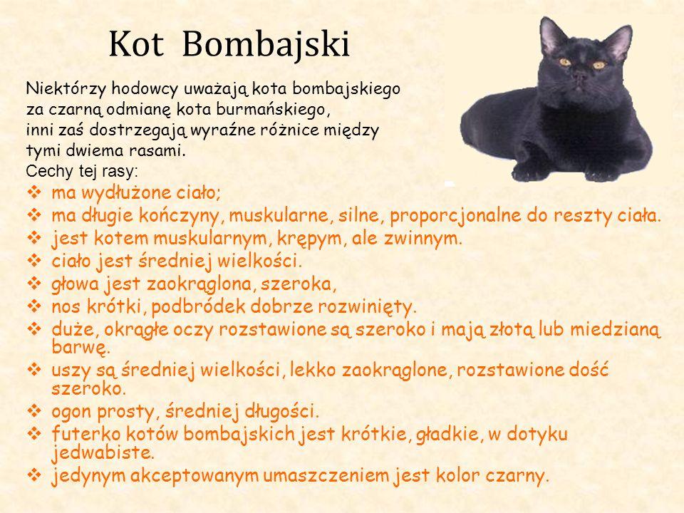 Kot Bombajski Niektórzy hodowcy uważają kota bombajskiego za czarną odmianę kota burmańskiego, inni zaś dostrzegają wyraźne różnice między tymi dwiema