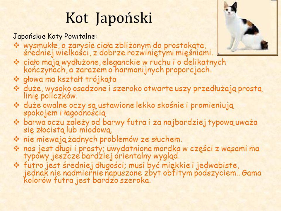 Kot Japoński Japońskie Koty Powitalne: wysmukłe, o zarysie ciała zbliżonym do prostokąta, średniej wielkości, z dobrze rozwiniętymi mięśniami. ciało m