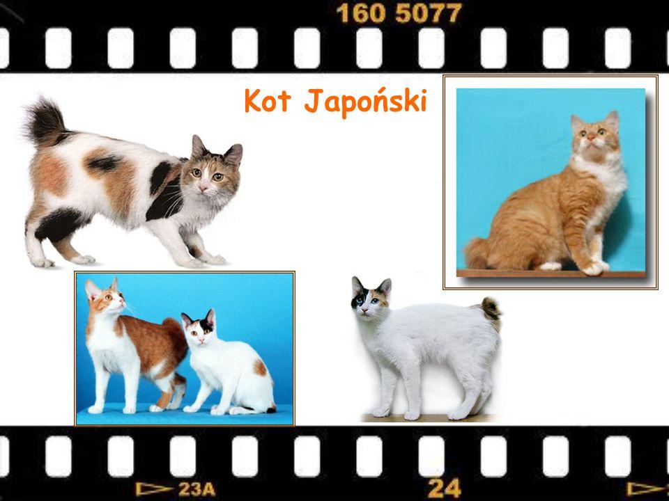 Kot Japoński