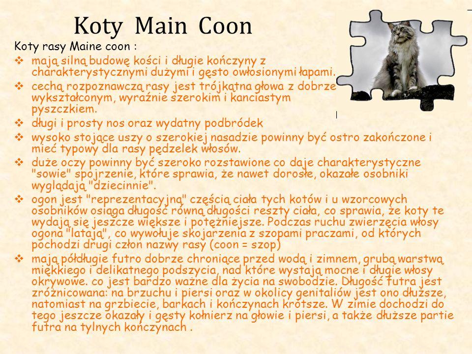 Koty Main Coon Koty rasy Maine coon : mają silną budowę kości i długie kończyny z charakterystycznymi dużymi i gęsto owłosionymi łapami. cechą rozpozn
