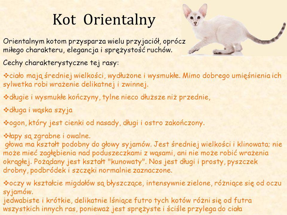 Kot Orientalny Orientalnym kotom przysparza wielu przyjaciół, oprócz miłego charakteru, elegancja i sprężystość ruchów. Cechy charakterystyczne tej ra