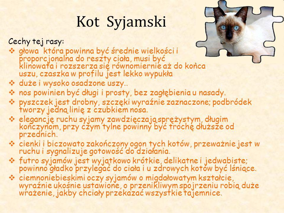 Kot Syjamski Cechy tej rasy: głowa która powinna być średnie wielkości i proporcjonalna do reszty ciała, musi być klinowata i rozszerza się równomiern