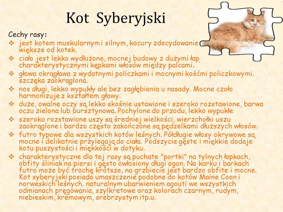 Kot Syberyjski Cechy rasy: jest kotem muskularnym i silnym, kocury zdecydowanie są większe od kotek. ciało jest lekko wydłużone, mocnej budowy z dużym
