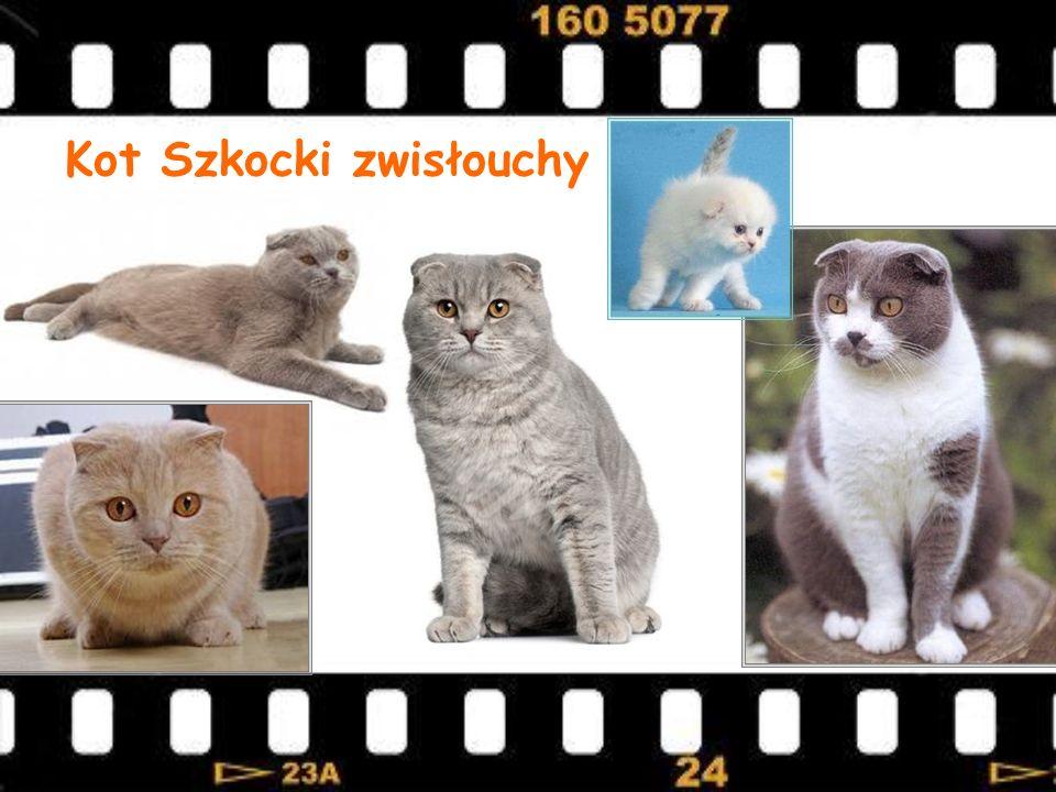 Kot Szkocki zwisłouchy