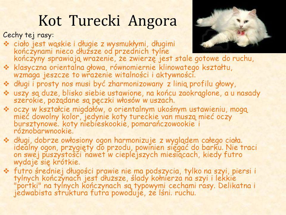 Kot Turecki Angora Cechy tej rasy: ciało jest wąskie i długie z wysmukłymi, długimi kończynami nieco dłuższe od przednich tylne kończyny sprawiają wra