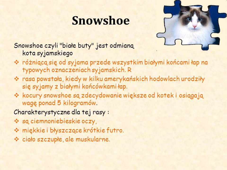 Snowshoe Snowshoe czyli