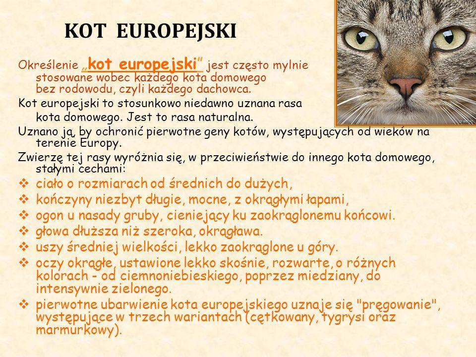 KOT EUROPEJSKI Określeniekot europejski jest często mylnie stosowane wobec każdego kota domowego bez rodowodu, czyli każdego dachowca. Kot europejski