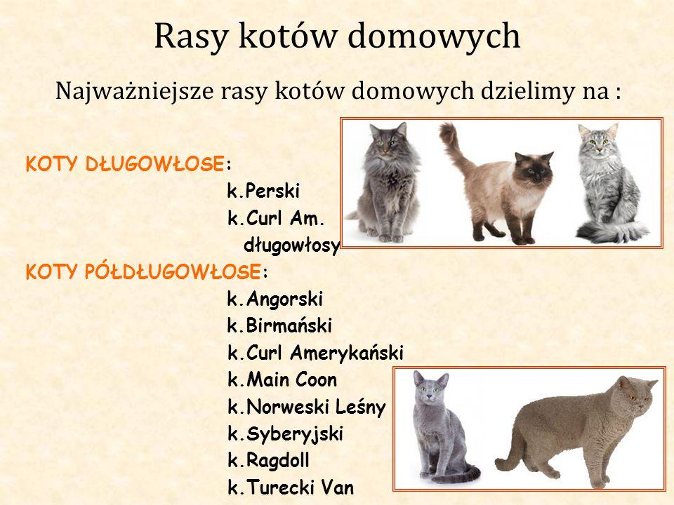 Rasy kotów domowych Najważniejsze rasy kotów domowych dzielimy na : KOTY DŁUGOWŁOSE: k.Perski k.Curl Am. długowłosy KOTY PÓŁDŁUGOWŁOSE: k.Angorski k.B
