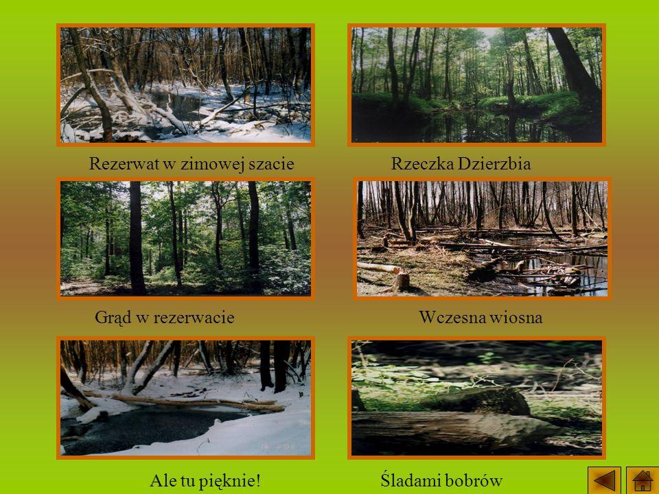 Grąd w rezerwacie Rzeczka Dzierzbia Śladami bobrówAle tu pięknie! Rezerwat w zimowej szacie Wczesna wiosna