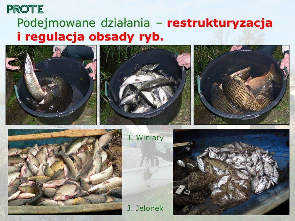Podejmowane działania – restrukturyzacja i regulacja obsady ryb. J. Winiary J. Jelonek