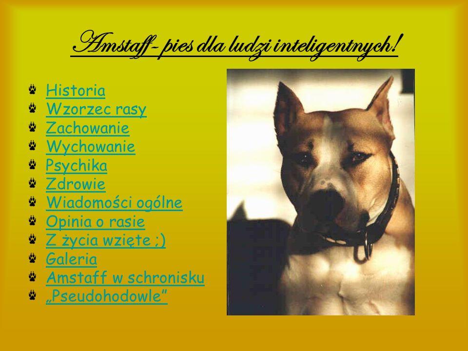 Historia American Staffordshire Terrier należy do grupy psów typu Bull i terier istniejącej od ponad 150 lat.