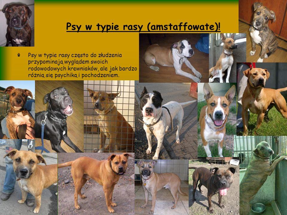 Psy w typie rasy (amstaffowate)! Psy w typie rasy często do złudzenia przypominają wyglądem swoich rodowodowych krewniaków, ale jak bardzo różnią się