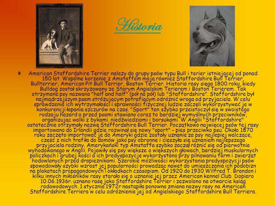 Historia American Staffordshire Terrier należy do grupy psów typu Bull i terier istniejącej od ponad 150 lat. Wspólne korzenie z Amstaffem mają równie