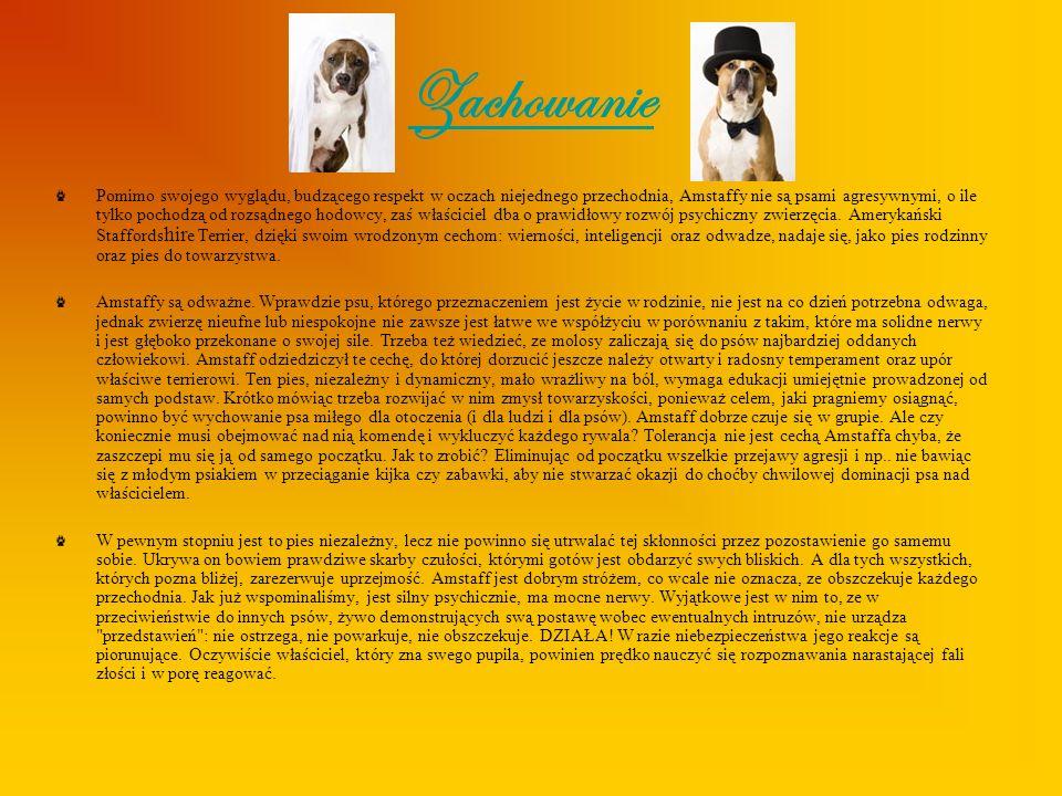 Wychowanie American Staffordshire Teriery mają dosyć specyficzną psychikę.
