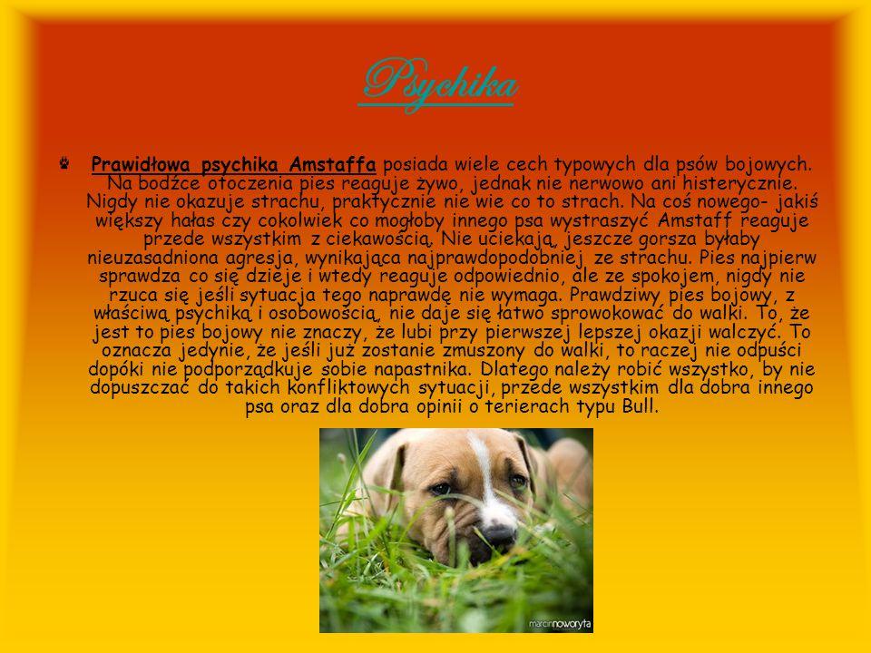 Psychika Prawidłowa psychika Amstaffa posiada wiele cech typowych dla psów bojowych. Na bodźce otoczenia pies reaguje żywo, jednak nie nerwowo ani his