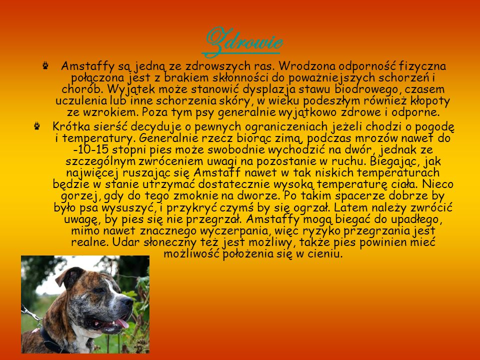 Wiadomo ś ci ogólne Psy rasy Amerykański Staffordshire Terrier (nazywane także Amstaff, Amstaf lub Ast) są coraz częściej spotykane wśród polskich hodowców i sympatyków czworonogów.