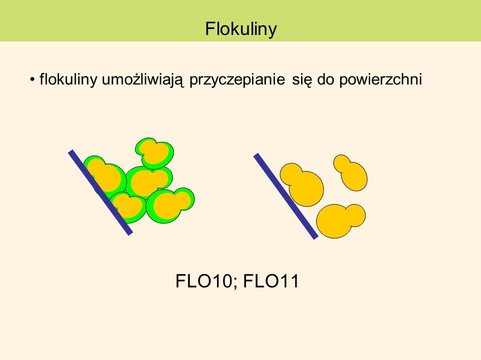 flokuliny umożliwiają przyczepianie się do powierzchni FLO10; FLO11 Flokuliny