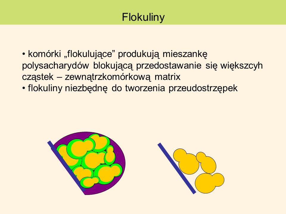 komórki flokulujące produkują mieszankę polysacharydów blokującą przedostawanie się większcyh cząstek – zewnątrzkomórkową matrix flokuliny niezbędnę d