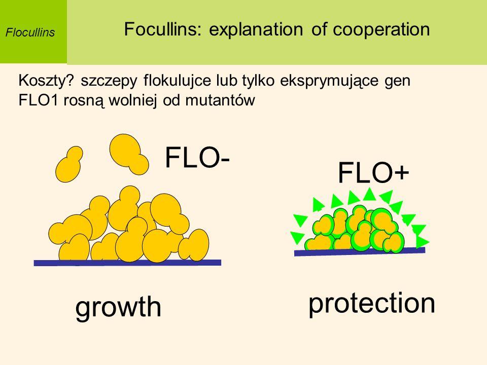 Flocullins Focullins: explanation of cooperation Koszty? szczepy flokulujce lub tylko eksprymujące gen FLO1 rosną wolniej od mutantów protection growt