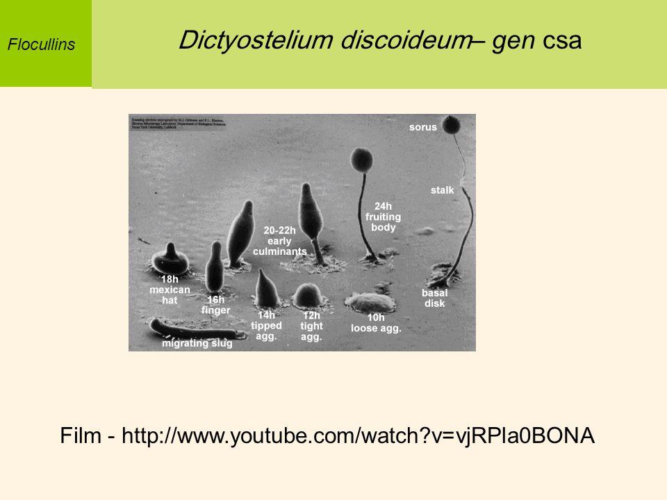 Flocullins Dictyostelium discoideum – gen csa Film - http://www.youtube.com/watch?v=vjRPla0BONA