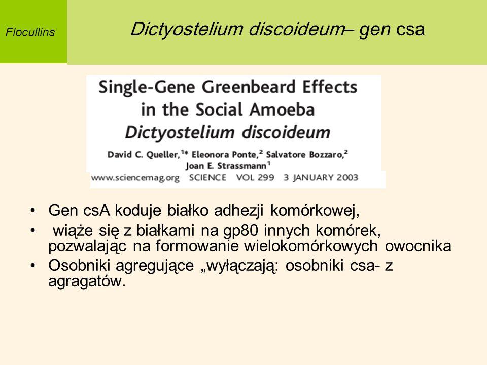 Gen csA koduje białko adhezji komórkowej, wiąże się z białkami na gp80 innych komórek, pozwalając na formowanie wielokomórkowych owocnika Osobniki agr