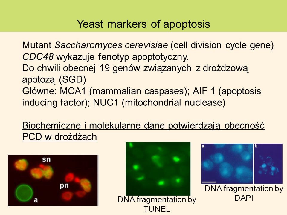 Yeast markers of apoptosis Mutant Saccharomyces cerevisiae (cell division cycle gene) CDC48 wykazuje fenotyp apoptotyczny.