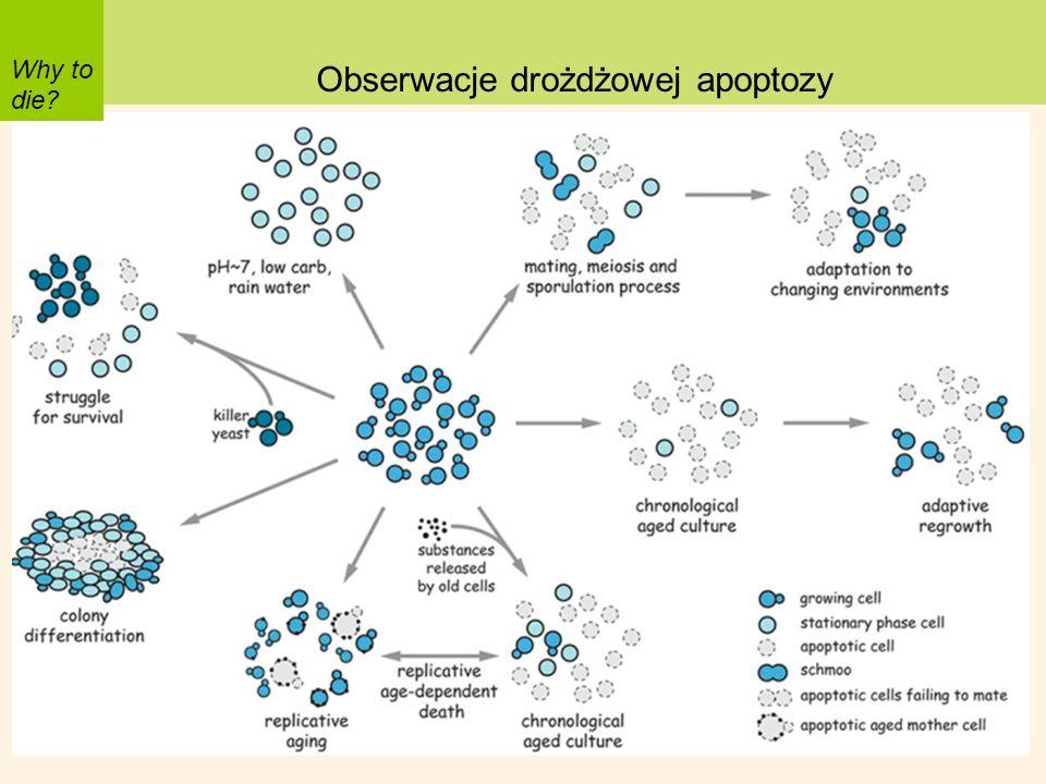 Why to die? Obserwacje drożdżowej apoptozy