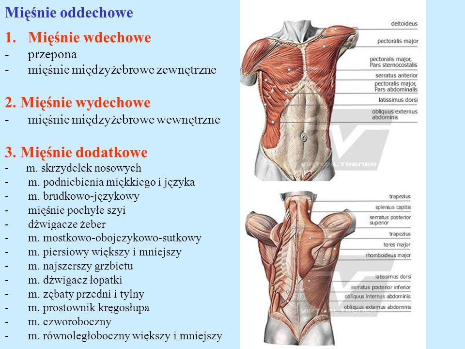 Mięśnie oddechowe 1.Mięśnie wdechowe -przepona -mięśnie międzyżebrowe zewnętrzne 2. Mięśnie wydechowe -mięśnie międzyżebrowe wewnętrzne 3. Mięśnie dod
