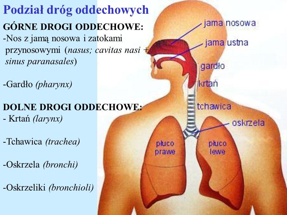 GÓRNE DROGI ODDECHOWE: -Nos z jamą nosowa i zatokami przynosowymi (nasus; cavitas nasi + sinus paranasales) -Gardło (pharynx) DOLNE DROGI ODDECHOWE: -