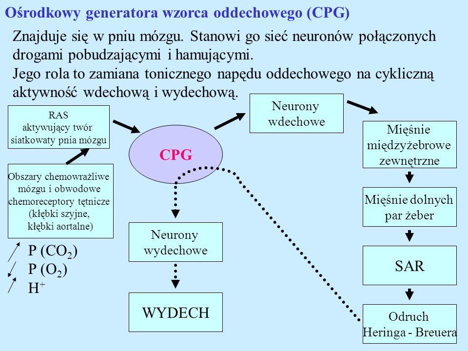Ośrodkowy generatora wzorca oddechowego (CPG) Znajduje się w pniu mózgu. Stanowi go sieć neuronów połączonych drogami pobudzającymi i hamującymi. Jego