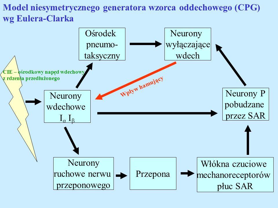 Neurony wdechowe I α I β Neurony wyłączające wdech Neurony P pobudzane przez SAR Włókna czuciowe mechanoreceptorów płuc SAR Ośrodek pneumo- taksyczny