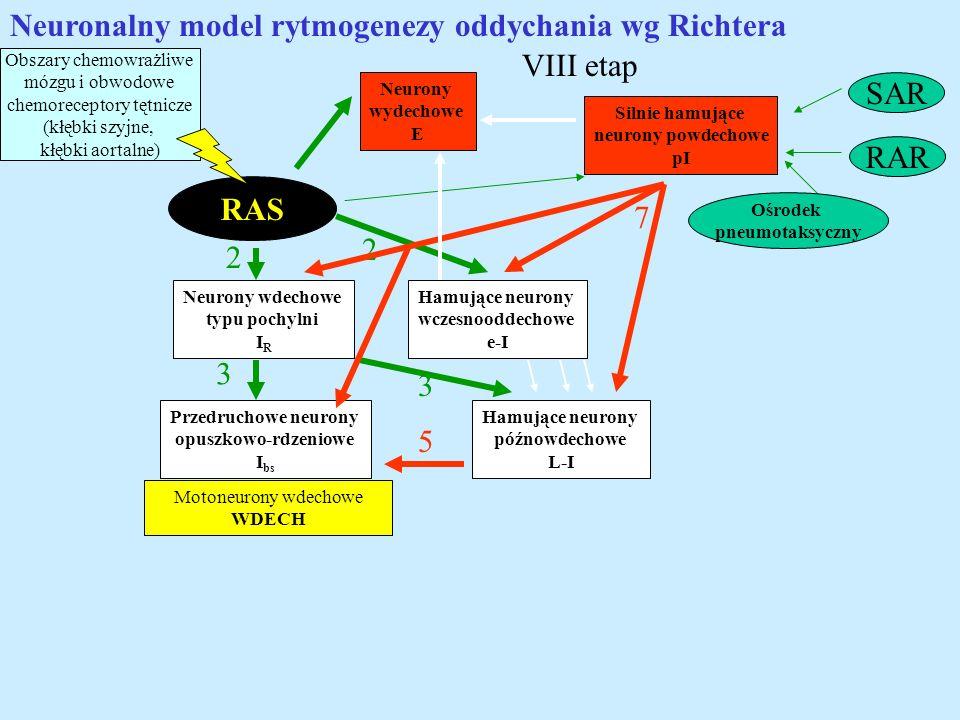 Neuronalny model rytmogenezy oddychania wg Richtera RAS Obszary chemowrażliwe mózgu i obwodowe chemoreceptory tętnicze (kłębki szyjne, kłębki aortalne
