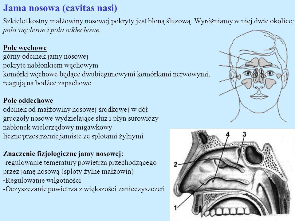 Jama nosowa (cavitas nasi) Szkielet kostny małżowiny nosowej pokryty jest błoną śluzową. Wyróżniamy w niej dwie okolice: pola węchowe i pola oddechowe