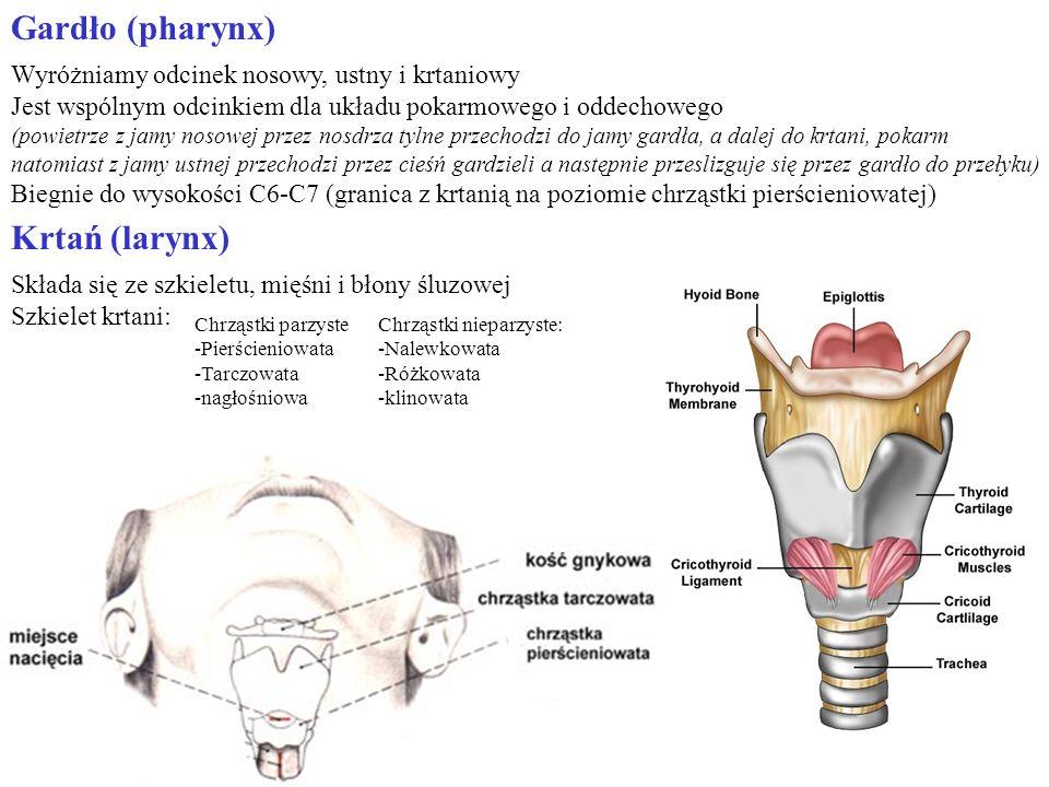 Gardło (pharynx) Wyróżniamy odcinek nosowy, ustny i krtaniowy Jest wspólnym odcinkiem dla układu pokarmowego i oddechowego (powietrze z jamy nosowej p