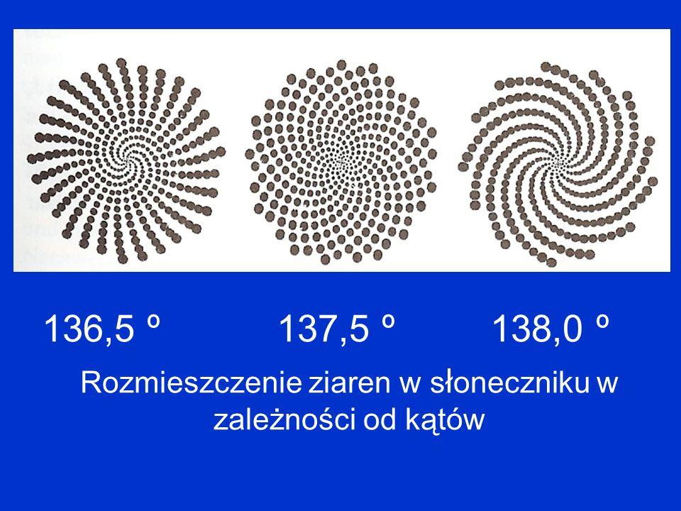 136,5 º 137,5 º 138,0 º Rozmieszczenie ziaren w s ł oneczniku w zależności od kątów